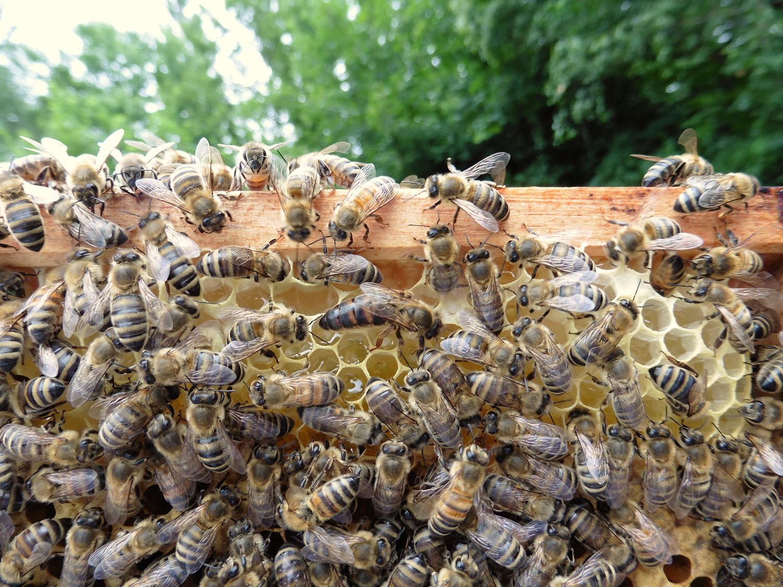 Junge Bienenkönigin, außerordentlicher Ausflug bei Tageslicht auf der Wabe