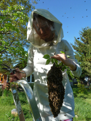 Bienenschwarm pflücken