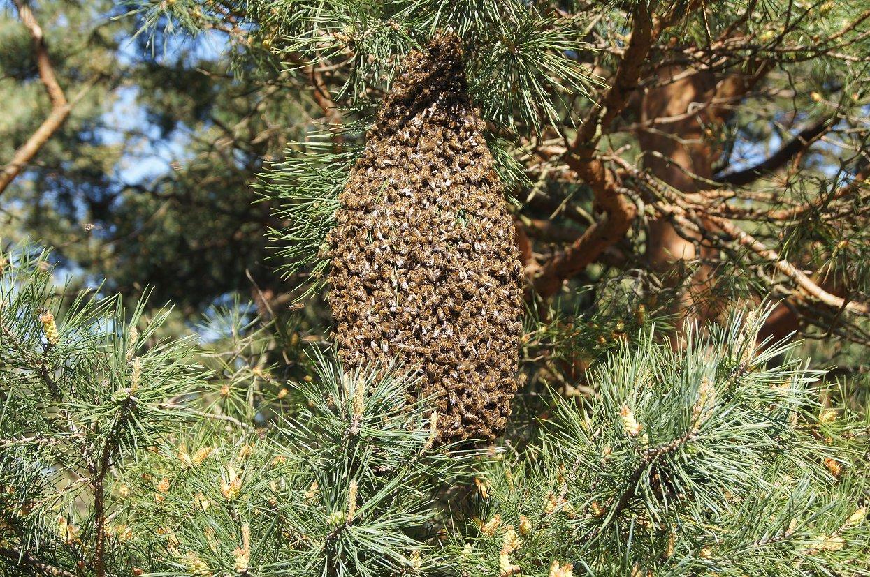 Ein Bienenenschwarm hängt hoch oben in der Kiefer