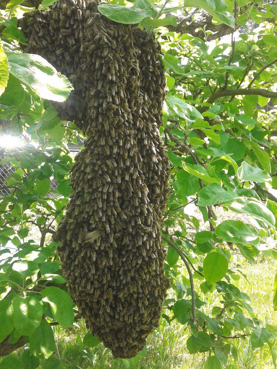 Imkerportrait: Bienenschwarm von Carlo