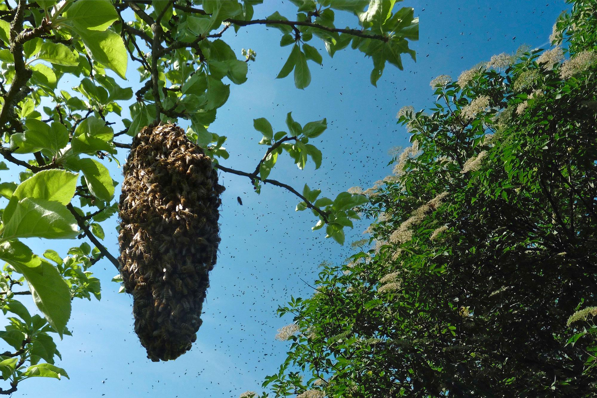 Bienenschwarm in Berlin - unser Schwarmfänger kann beim EInfangen helfen