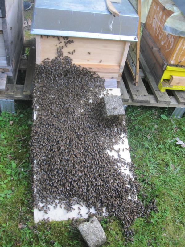 Der Bienenschwarm zieht feierlich ein in das neue Heim.