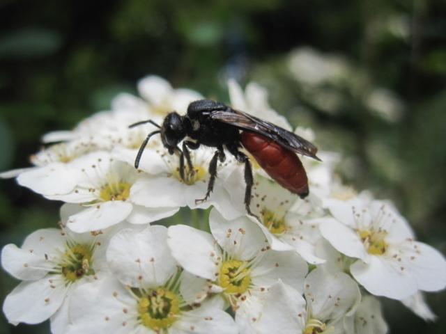 Kuckucks-Wildbiene von der Gattung der Blutbienen (Sphecodes)