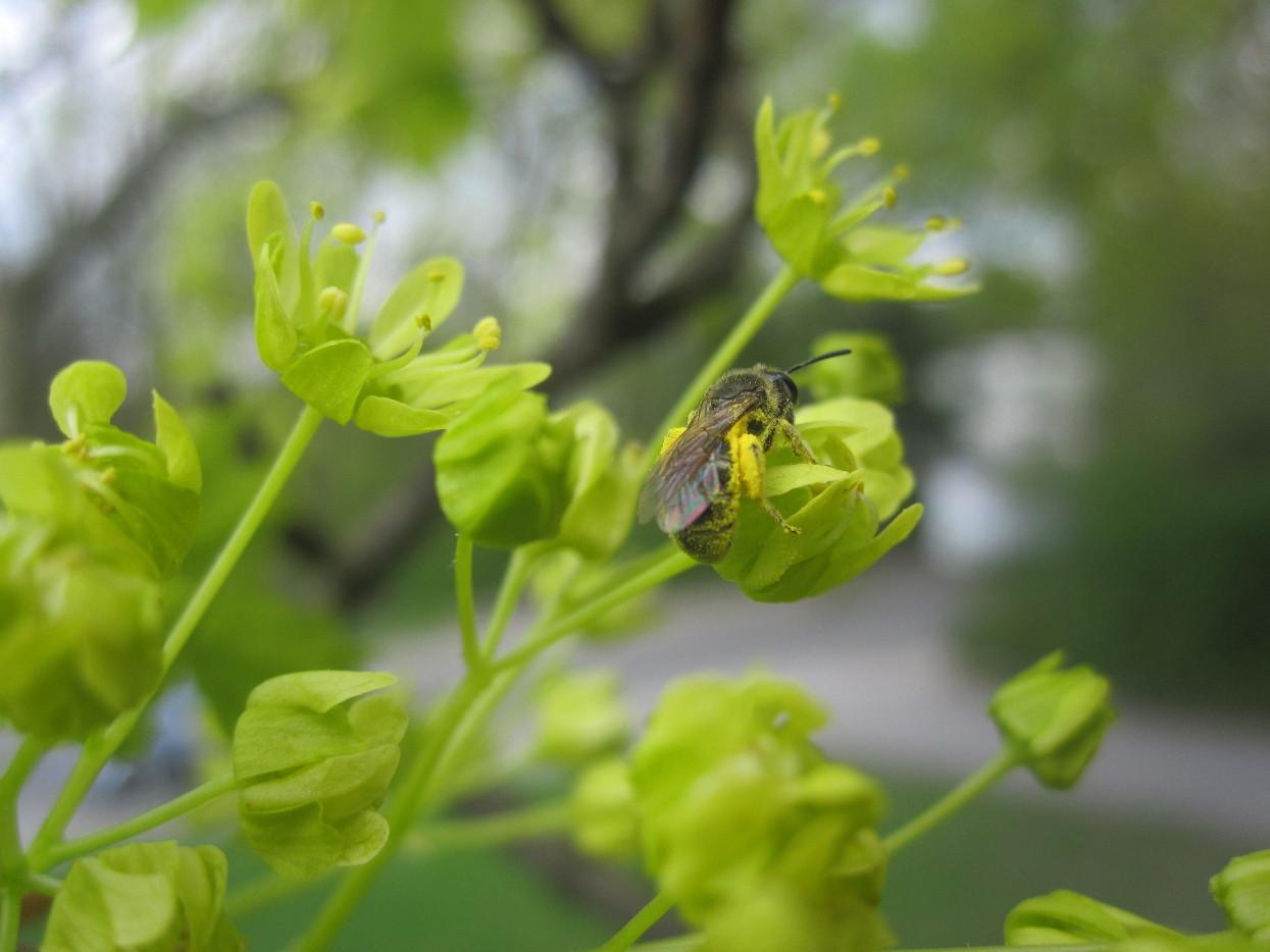 Sandbiene (Andrena) am Spitzahorn