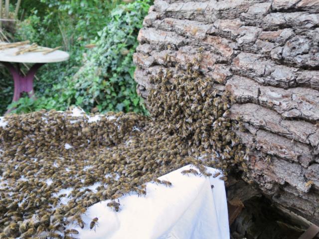 Bienenschwarm-Mellifera-Berlin- Der Dornröschen Bienenschwarm läuft in seine neue Trogbeute ein. - Tobias