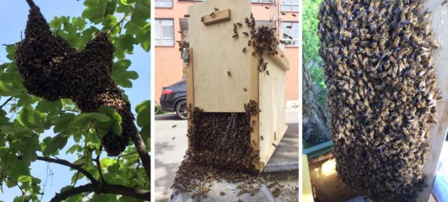 Bienenschwarm Faultier in einem Kreuzberger Baum - Ein Nachschwarm wird eingefangen und einlogiert. - Rainer