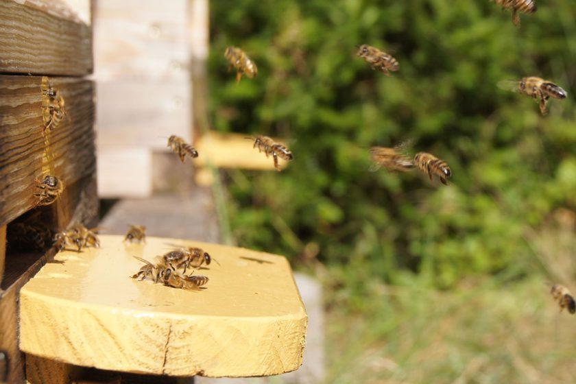 Imkerportrait – Bienen beim Anflug