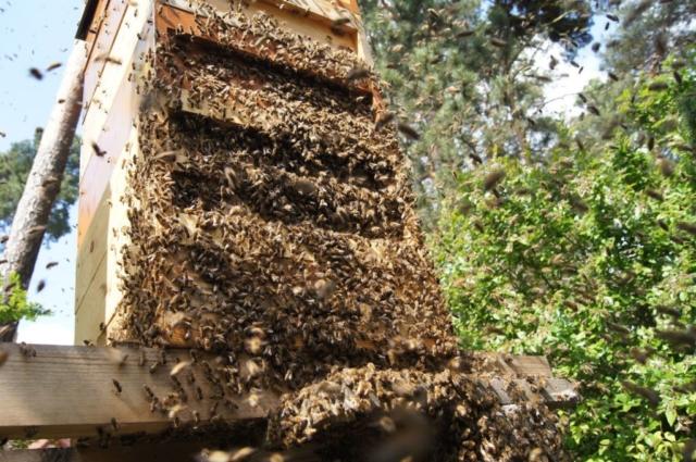 Einzug eines Schwarmes in einen Bienenstock