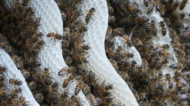 Naturwabenbau mit Bienen