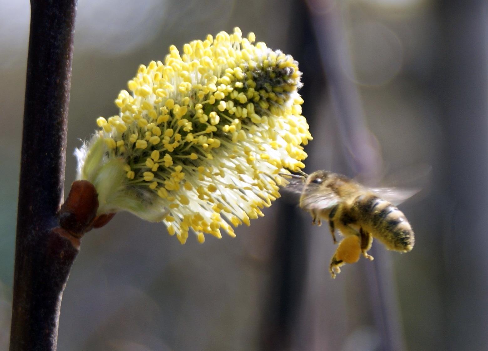 Biene besucht Weidenblüte