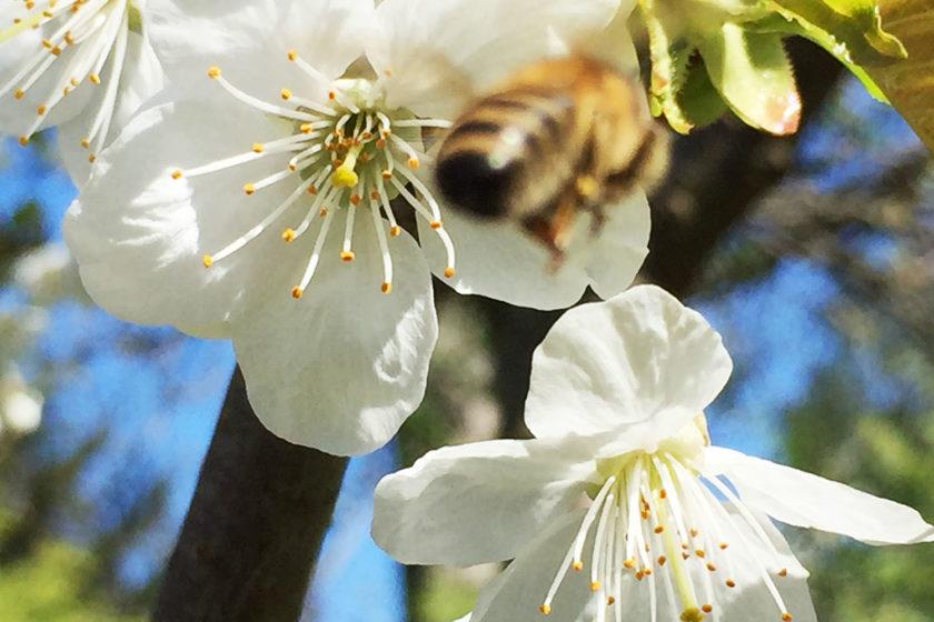 Obstbaumblüte – Blühendes Berlin