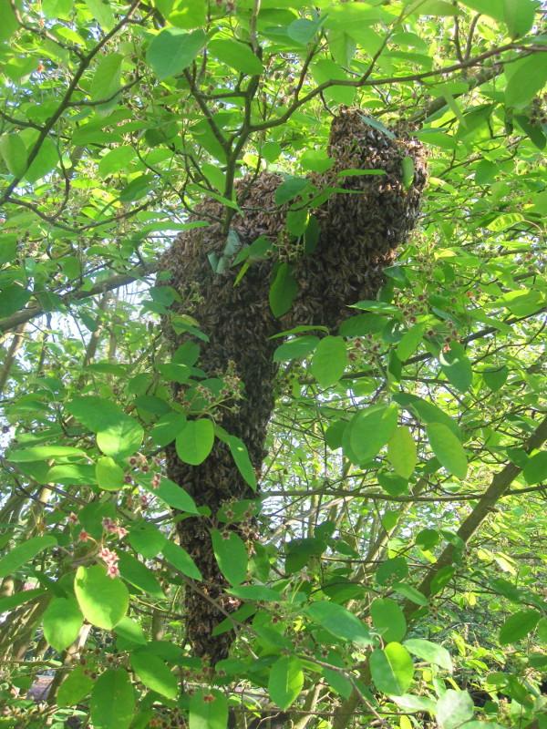 Ein Bienenschwarm hat sich niedergelassen und sucht nach einem neuen Heim.