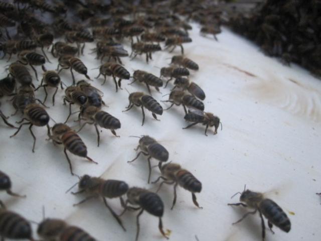 Bienen fächeln Pheromone in die Luft, um ihren Brüdern und Schwestern den Weg zur neuen Behausung zu zeigen (Sterzeln).