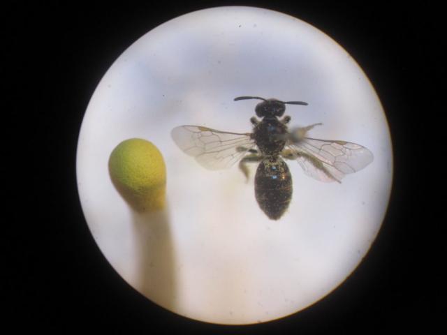 Eine Wildbiene der Gattung Lasioglossum – kaum größer als ein Streichholzkopf.
