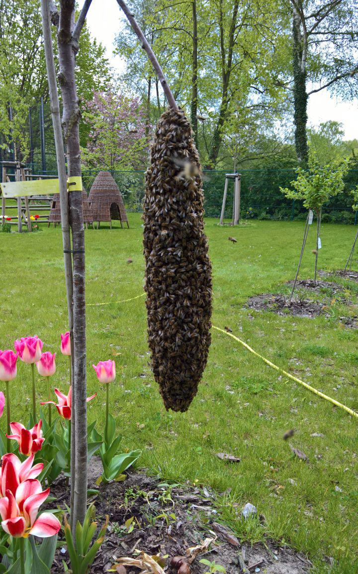 Einer der ersten Bienenschwärme im Jahr, es war April in Potsdam