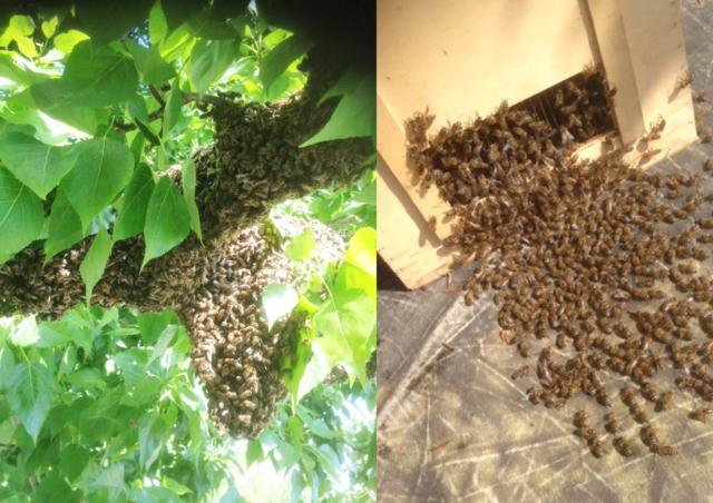 Bienenschwarm in einer Linde über dem Imbissstand im Yaam, Spreeufer Berlin - Karsten