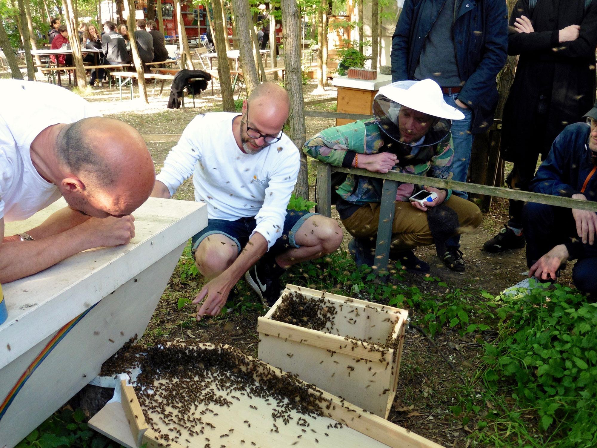 Ein Bienenschwarm läuft in seine neue Top Bar Hive in den Prinzessinnengärten