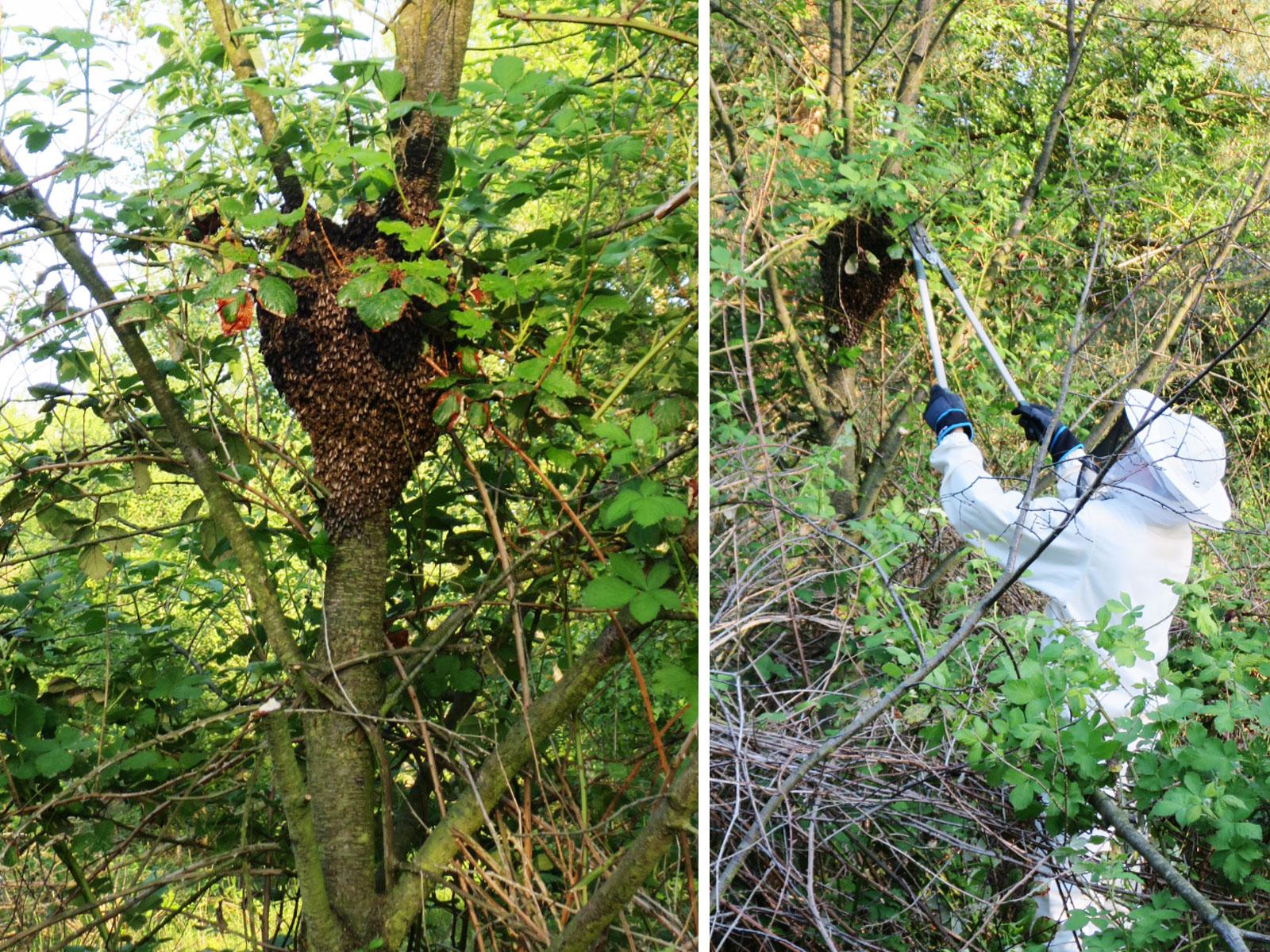 Umrankt von Brobeeren, wird der Dornröschen Bienenschwarm am ehemaligen Mauerstreifen gepflückt. - Tobias