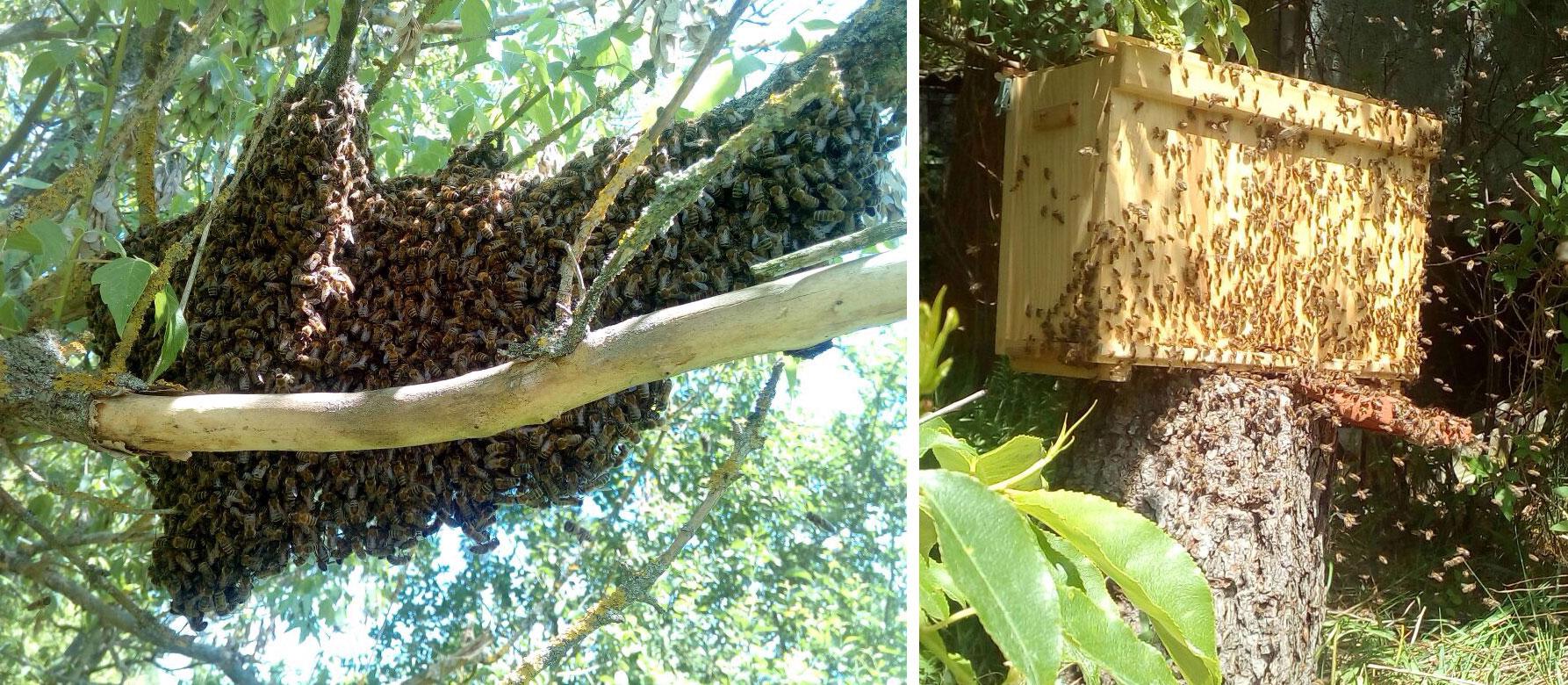 Bienenschwarm in Rehagen, frei und gefangen - Carlo