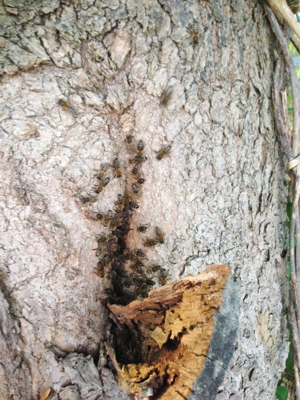 Und auch dieser Bienenschwarm hat sich eine Baumhöhle in einer Pappel ausgesucht, aus der er sich nicht mehr herauslocken lässt. Toi toi toi für das wilde Leben ohne Varroabehandlung! - Verena