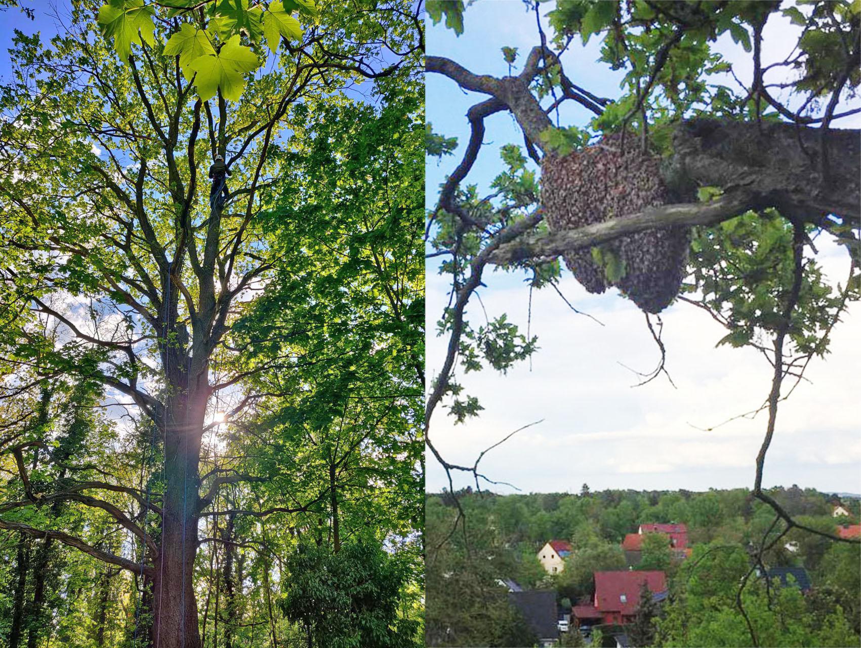 Ein Schwarm in 15 Metern Höhe. Für Ingmar Zech mit Ablass-,Hochziehseil und Schwarmfangsack lässt sich der Baum erklettern und der Schwarm einfangen!