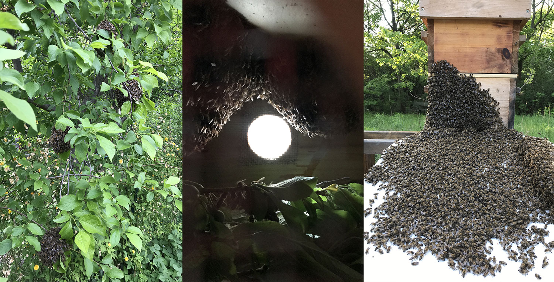 Vier Mini-Schwärme im Baum, bis zu einem großen Bienenschwarm der in den Kasten einläuft. Eine volle Schwarmsaison! - Verena