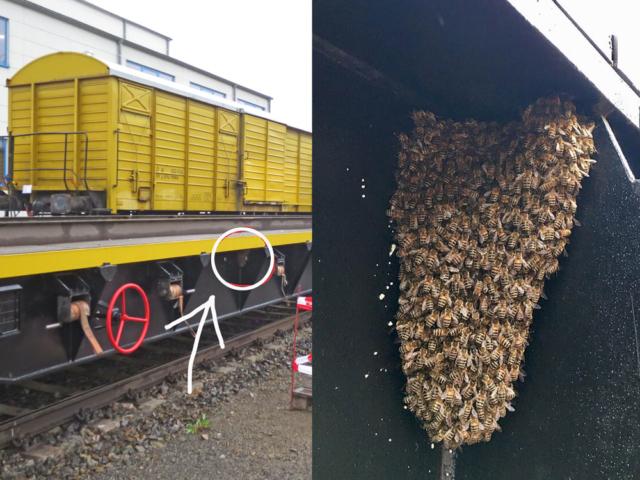 Ein Bienenschwarm fährt schwarz. Er wurde von kontrollierenden Imkern geborgen. - Tobias