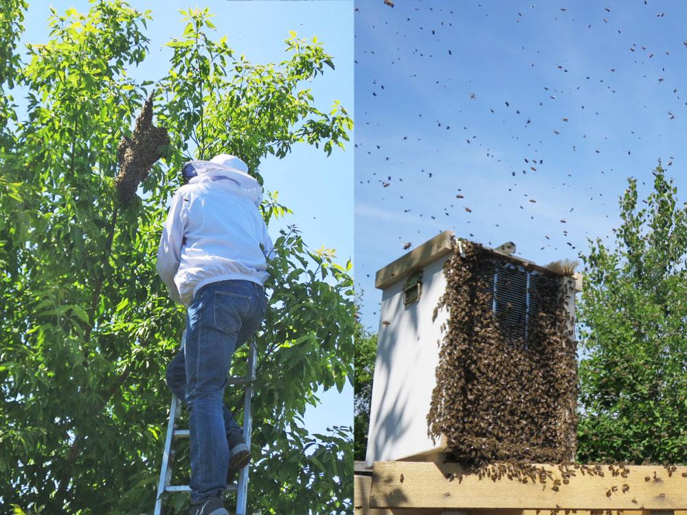 Ein Bienenschwarm am Tempelhofer Feld. - Tobias