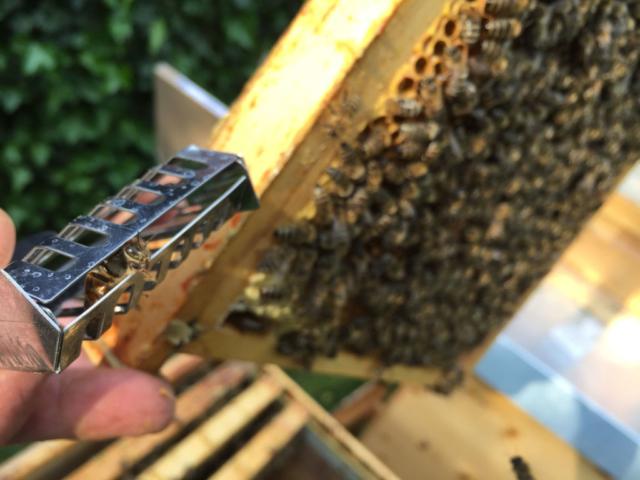 Die Bienenkönigin lugt aus ihrem Kurzzeit-Käfig hervor - ein vorweggenommener Schwarm wird gerade auslogiert - Rainer