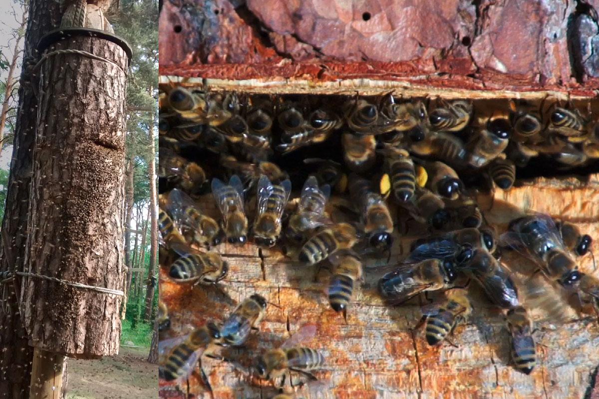 Bienenschwarm, Einzug in Klotzbeute aus Kiefer