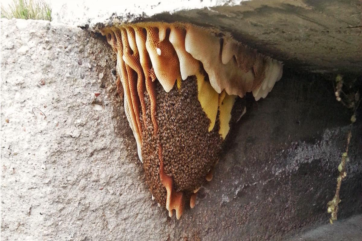 Bienentraube auf Naturwabenbau – Argentienien