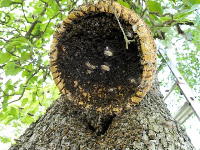 Erster sebst gefangener Bienenschwarm im Bienenkorb