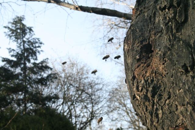 Wild lebende Honigbienen in einem Baum