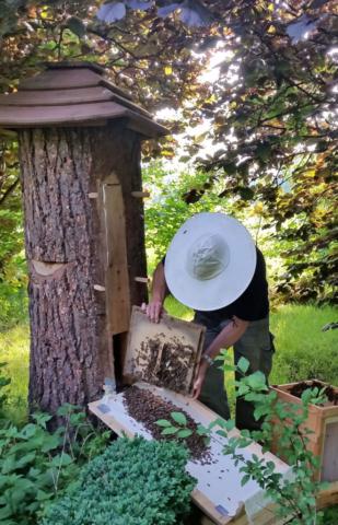 Ein Bienenschwarm läuft in eine Klotzbeute